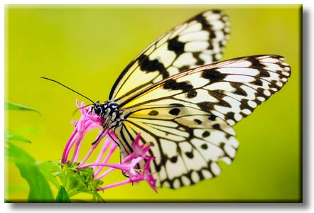 Butterfly Sipping Flower Nectar Modern Picture on Stretched Canvas, Wall Art Decor, Ready to Hang
