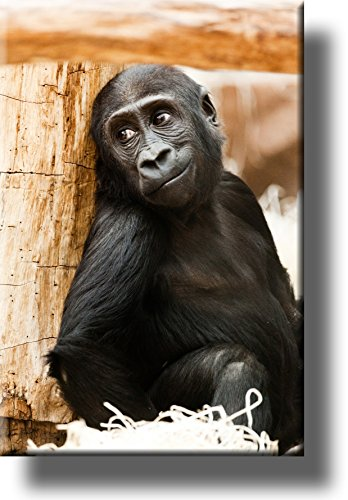 Monkey, Chimpanzee Hiding Giving Looks, Picture on Stretched Canvas, Wall Art Décor, Ready to Hang!
