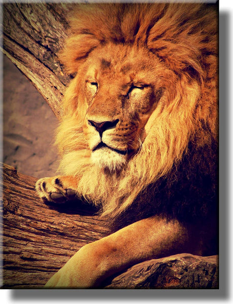 Lion Resting Picture on Stretched Canvas, Wall Art Decor, Ready to Hang!