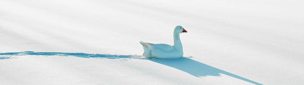 "Ernest Cadegan Photography ""Goose in Snow"""
