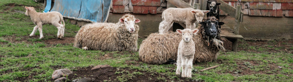 "Ernest Cadegan Photography ""Pia's Sheep 22"""