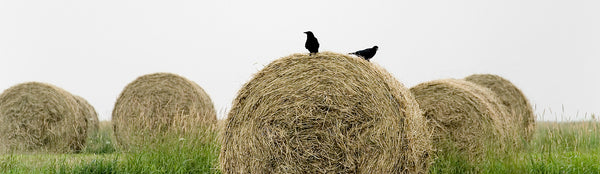 "Ernest Cadegan Photography ""Two Crows on the Bale"""