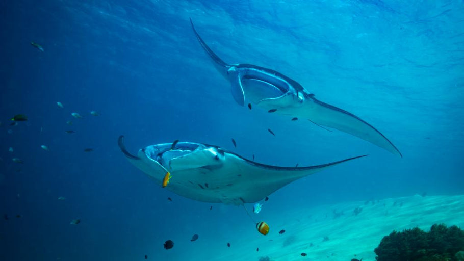 5 Places to Dive With Manta Rays