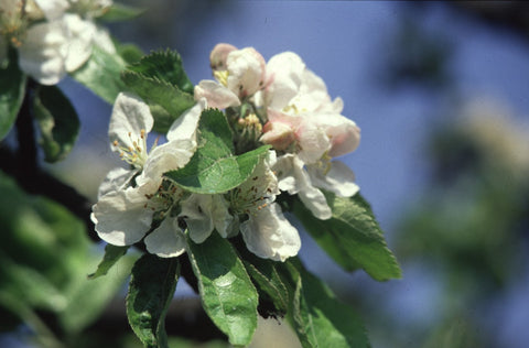 Crab Apple - Bach