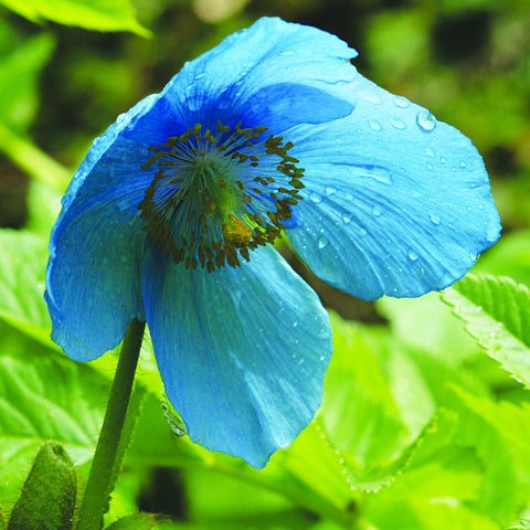 Himalayan blue poppy yorkshire flower essences himalayan blue poppy mightylinksfo