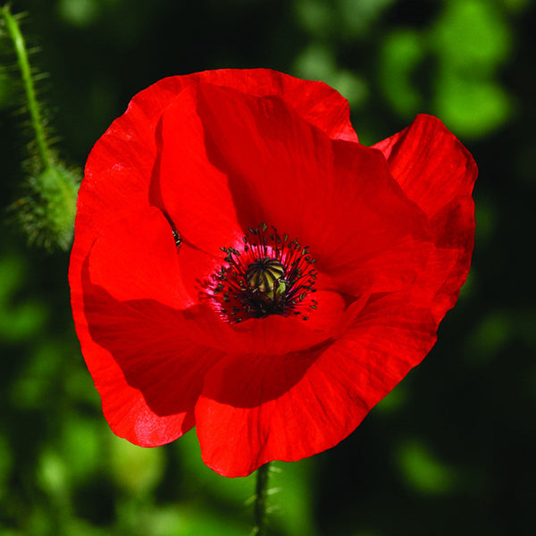 Red Poppy Yorkshire Flower Essences