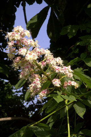 White Chestnut - Bach