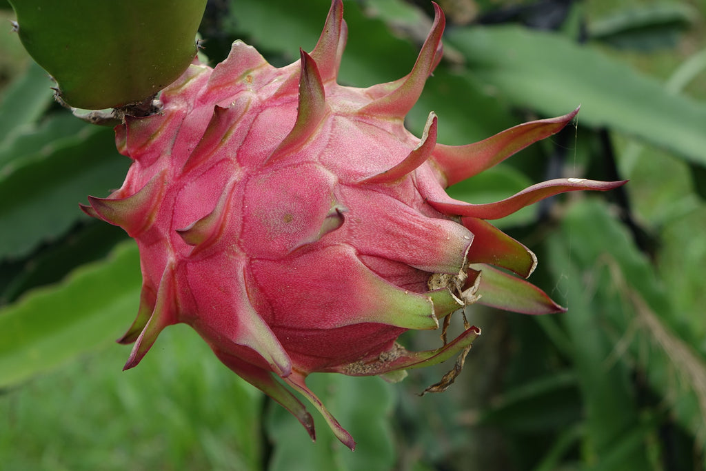 red dragon fruit on plant
