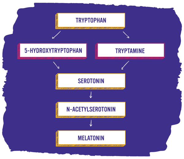 Tryptophan to Melatonin Flow Chart