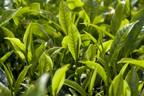 Weaver's Tea Leaves