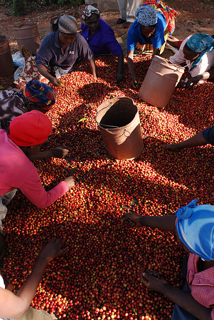 Coffee Cherries and Kenyan Women Coffee Farmers picking through the coffee cherries