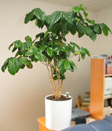 Photo of a Coffee Tree