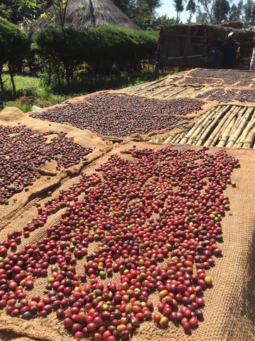 Ethiopian Coffee Cherries drying in the sun on a raised platform