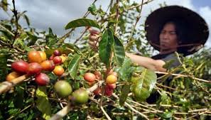 sumtara indonesia coffee farmer
