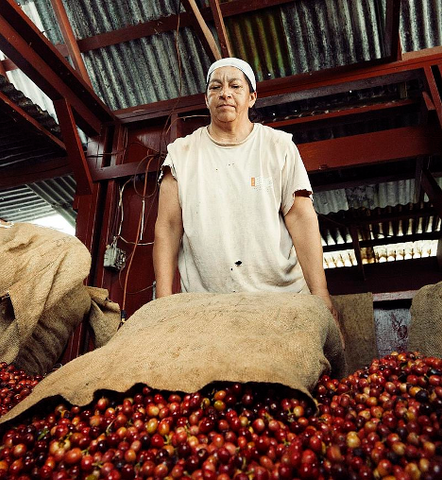 Coffee Farmer emptying burlap bag filled with red coffee cherries