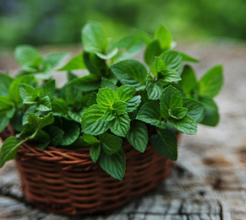 Photo of a Peppermint Plant in a brown wicker basket