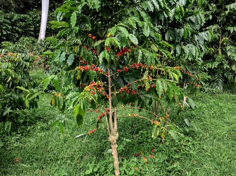 Photo of Coffee Cherries on a coffee tree