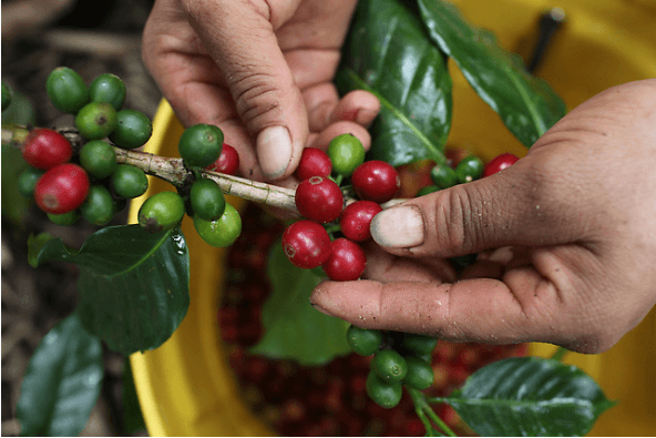 Hand picked coffee berries peru fair trade