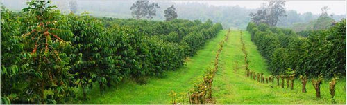 Peaberry Reserve Coffee a rare form of coffee where fruit yields only a single, oval-shaped seed.