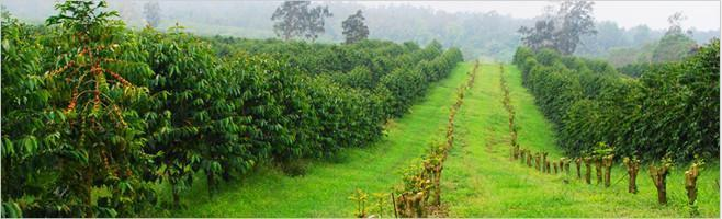 Photo of a coffee farm and coffee trees