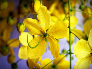 cassia flower yellow