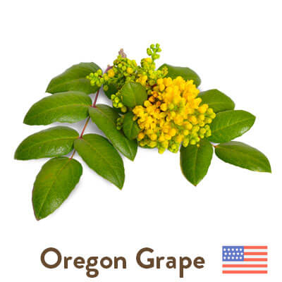 Oregon grape sourced from the USA