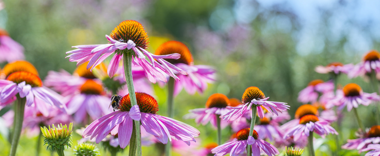 field of purple echinacea flowers