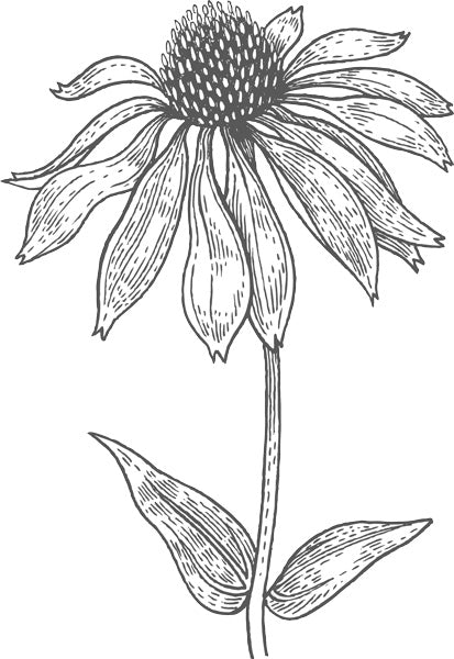drawing of echinacea flower