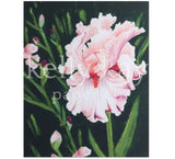 Art Print | Bearded Iris