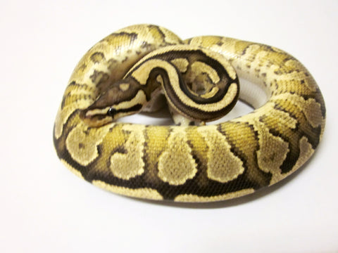 Flame Yellowbelly