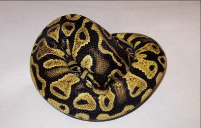 Nebula Pastel Yellow Belly 50% Het Albino Het Pied