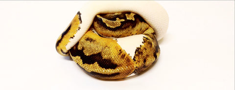 High Orange Pied