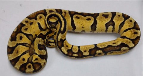 Super Pastel YB Thunder Het Ghost