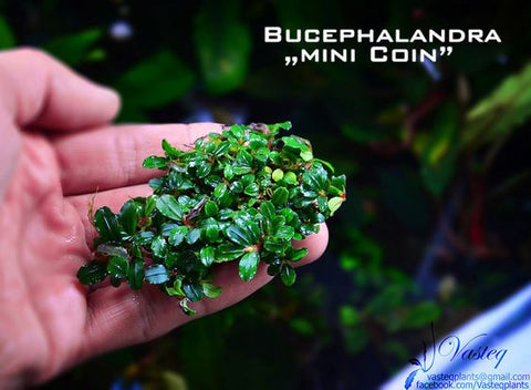 Bucephalandra Mini Coin