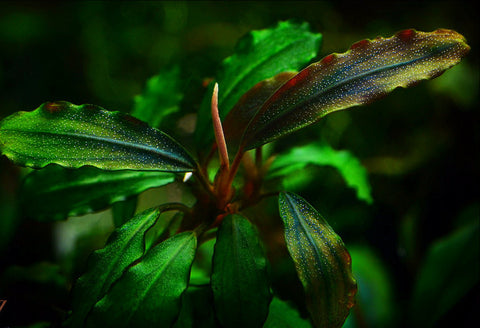 Bucephalandra Upper Ghost