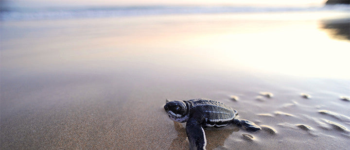 Wanted: Sea Turtle Photos for STC's 2017 Calendar