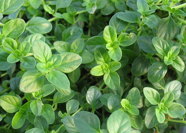 Uses and Benefits of Oregano Oil