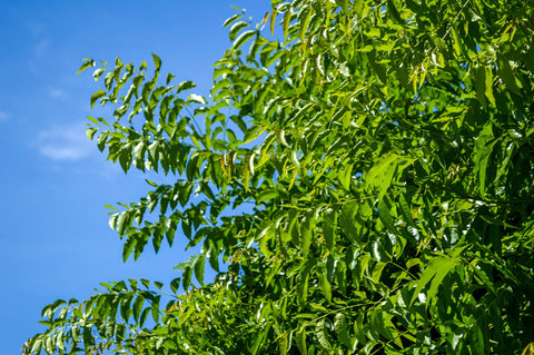 Top 20 Amazing Benefits of Neem Oil