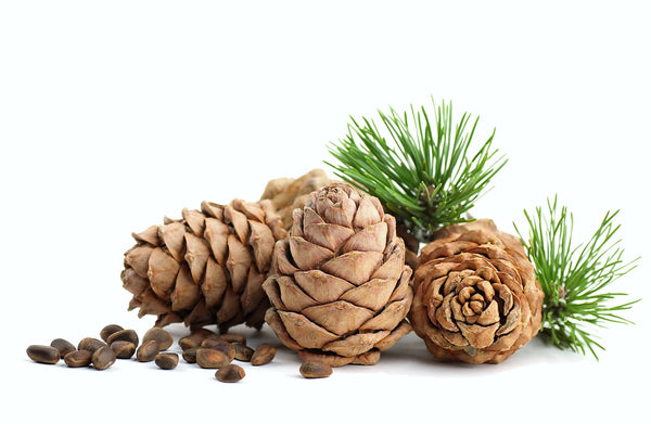 Cedarwood Cones and Seeds for Cedarwood Essential Oil