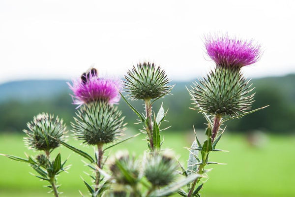 Ingredient Profile: Milk Thistle Seed Extract