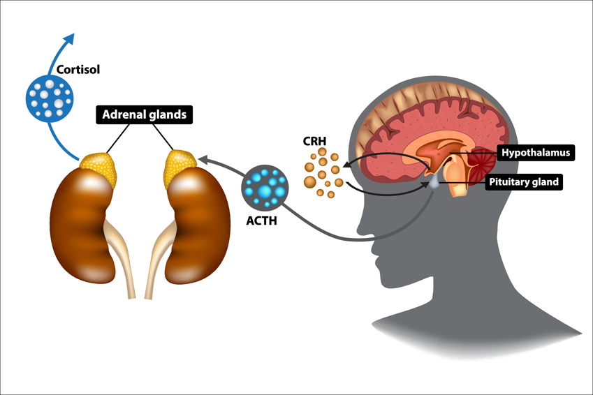 How HPA Axis works Hypothalamus Pituitary Adrenal