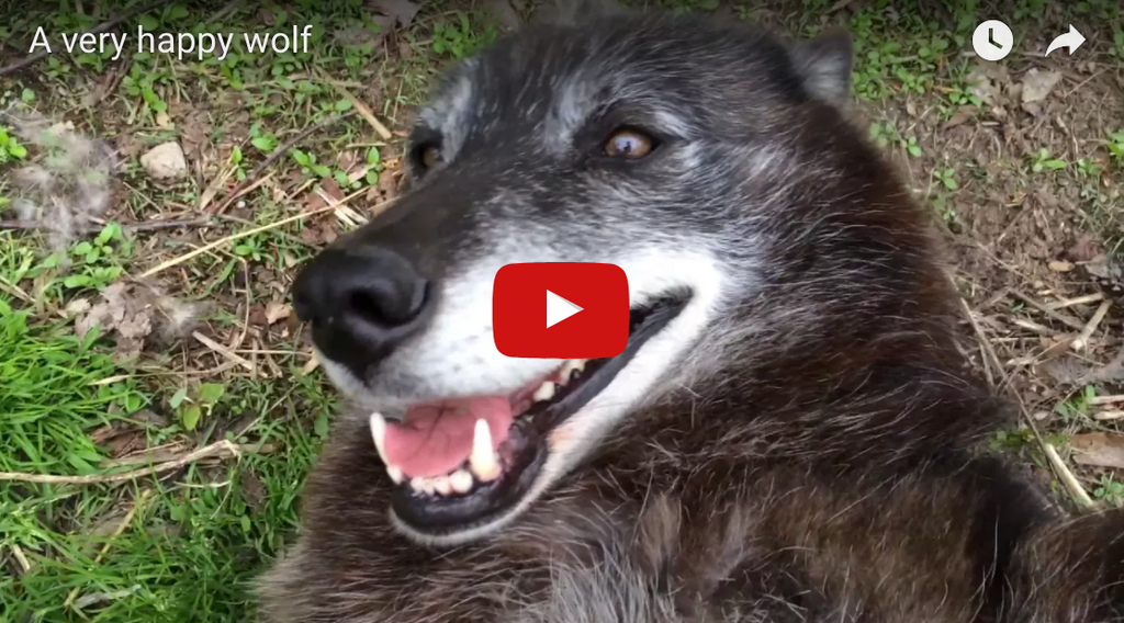 One Happy Wolf - Rescued Wolf
