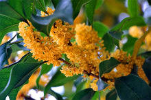 Load image into Gallery viewer, Wild Tree Blend: Osmanthus Black