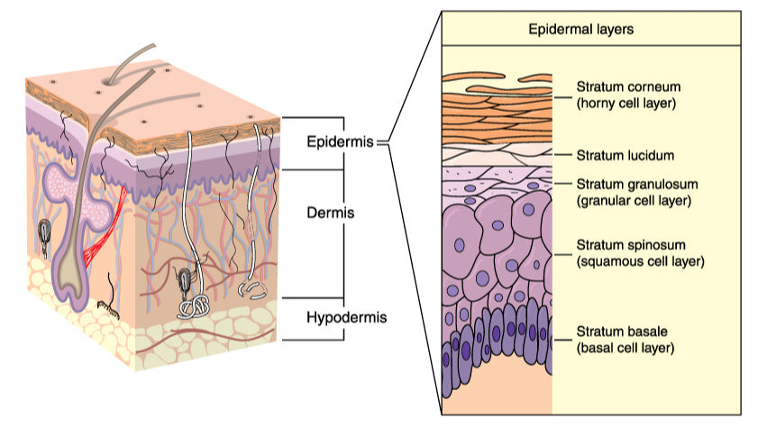 Epidermis Skin Cell Layer - The Clinic