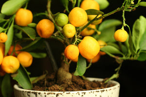 How to Grow Mandarin Tree Indoors