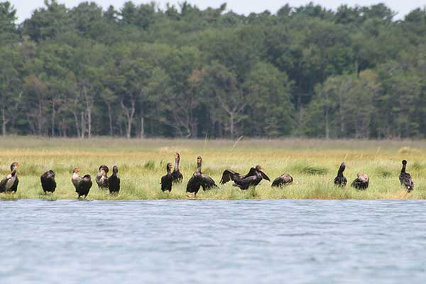 cormorants maine