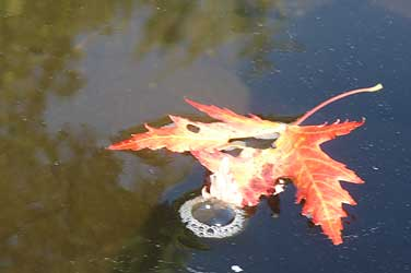 foliage leaf on water