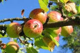 Apple Orchard Fragrance Oil - YankeeScents Potpourri - 1