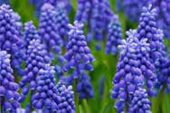 Hyacinth Fragrance Oil - YankeeScents Potpourri - 1