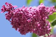 Spring Lilac Fragrance Oil - YankeeScents Potpourri - 1